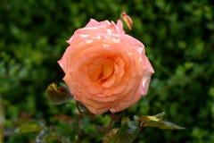 Beautiful rose in garden. stock image