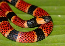 Close up of Coral Snake, Micrurus alleni Royalty Free Stock Image