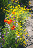 Close up of a coreopsis pubescens called star tickseed and delphinium. Stock Image