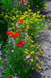 Close up of a coreopsis pubescens called star tickseed and delphinium. Royalty Free Stock Photography