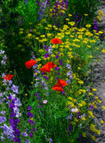 Close up of a coreopsis pubescens called star tickseed and delphinium. Royalty Free Stock Photo