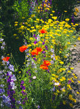 Close up of a coreopsis pubescens called star tickseed and delphinium. Stock Photos