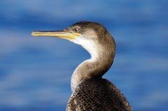 Close up of Cormorant (Phalacrocorax carbo) Stock Photo
