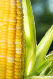 Close-up of corn. Close-up of an ear of corn with sun shining Royalty Free Stock Image