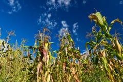 Close up corn Royalty Free Stock Image