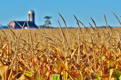 Close-up of corn awns in a field. Close-up of corn awns in a cornfield with a barn and silo in the background Stock Photo