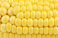 Close up of  corn cob Stock Photography