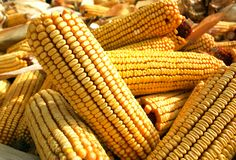 Close up of corn cobs. Some of them with husks Stock Photos