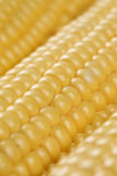 Close up of corn cobs in a row Stock Photography
