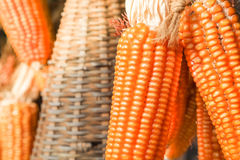 Close up of corn in a farm Royalty Free Stock Photo