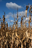 Close-up of corn field. Nice blue sky and white clouds as background Royalty Free Stock Photo