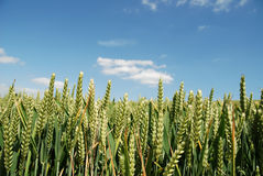 Close up of corn in a field. Against a blue sky royalty free stock photography