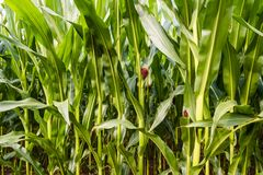 Close up of corn field in the countryside. Ready for harvest stock photos
