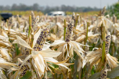 Close up corn field on crop plant for harvesting.  Royalty Free Stock Photography