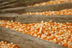 Close up of corn grains. Whole background Stock Image