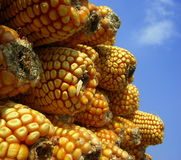 Close-up corn kernels with sky Royalty Free Stock Image
