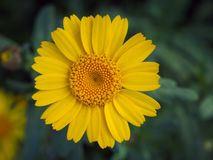 Corn marigold in an english meadow in summer royalty free stock photography
