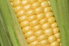Close up of a corn plant Stock Images