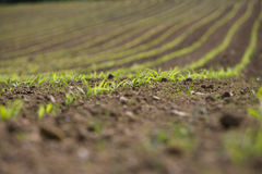 Close up of corn seedlings in field Royalty Free Stock Photo