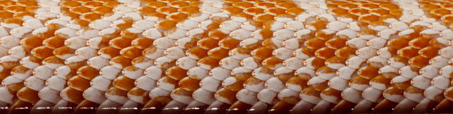 Close-up of corn snakeskin or red rat snakeskin Royalty Free Stock Image