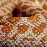 Close-up of corn snakeskin or red rat snakeskin Stock Photography