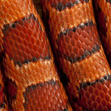 Close-up of corn snakeskin or red rat snakeskin Royalty Free Stock Photography