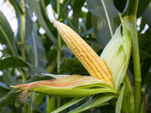 Close up corn on the stalk Royalty Free Stock Images