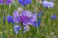 Close up of cornflower. On meadow Stock Photography