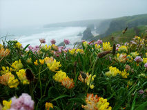 Close up of Cornish Wildflowers above Bedruthan steps, Cornwall. Royalty Free Stock Images