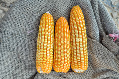 Close up Corns Royalty Free Stock Photos