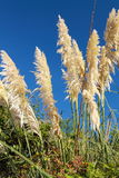 Close up of cortaderia rising up in blue sky on atlantic coast Stock Photography