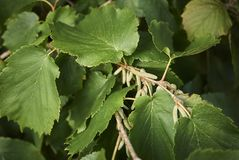 Corylus colurna branches. Close up of Corylus colurna tree branches with catkins stock image