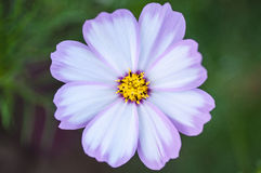Close up of a cosmos Stock Images