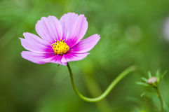 Close up of a cosmos Royalty Free Stock Photography