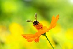 Close up cosmos flower and Bee royalty free stock photo
