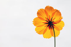 Close up of cosmos flower. On gray background Royalty Free Stock Photography