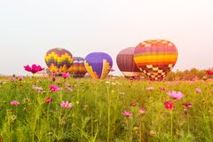Close up cosmos flowers field with group hot air balloons background, Chiang Rai Province. Thailand Royalty Free Stock Photography