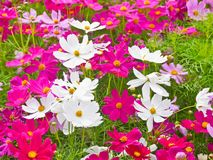 Cosmos flower field the place tourist love to visit. royalty free stock photography