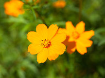 Close up of cosmos flowers Stock Photography