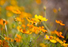 Close up of cosmos flowers Stock Photos