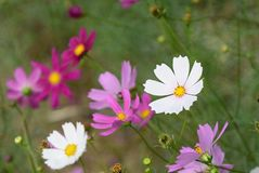 Close up of cosmos flowers Stock Images