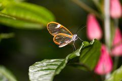 Costa Rica Clearwing Butterfly standing on a leaf. Close-up of a Costa Rica Clearwing Butterfly standing on a leaf Royalty Free Stock Images