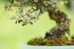 Close up cotoneaster as bonsai tree Stock Photos