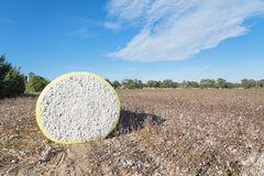 Close-up cotton bales on harvested field in Texas, USA. Close-up round bale of harvested fluffy cotton wrapped in yellow plastic under cloud blue sky. Captured royalty free stock photos