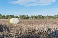 Close-up cotton bales on harvested field in Texas, USA. Row of round bales of harvested fluffy cotton wrapped in yellow plastic under cloud blue sky. Captured royalty free stock image