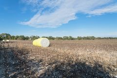 Close-up cotton bales on harvested field in Texas, USA. Row of round bales of harvested fluffy cotton wrapped in yellow plastic under cloud blue sky. Captured royalty free stock images