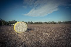 Close-up cotton bales on harvested field in Texas, USA. Wide angle view round bale of harvested fluffy cotton wrapped in yellow plastic under cloud blue sky stock photos