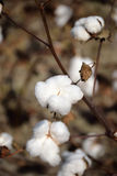 Close up of Cotton Boll on the Plant Royalty Free Stock Photo
