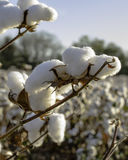 Close up of cotton bolls with blue sky. Close up of cotton bolls in a field with blue sky in background Royalty Free Stock Image