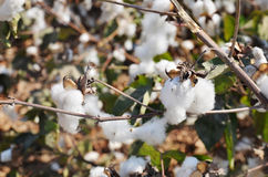 Close-up of cotton bolls on branch Stock Images
